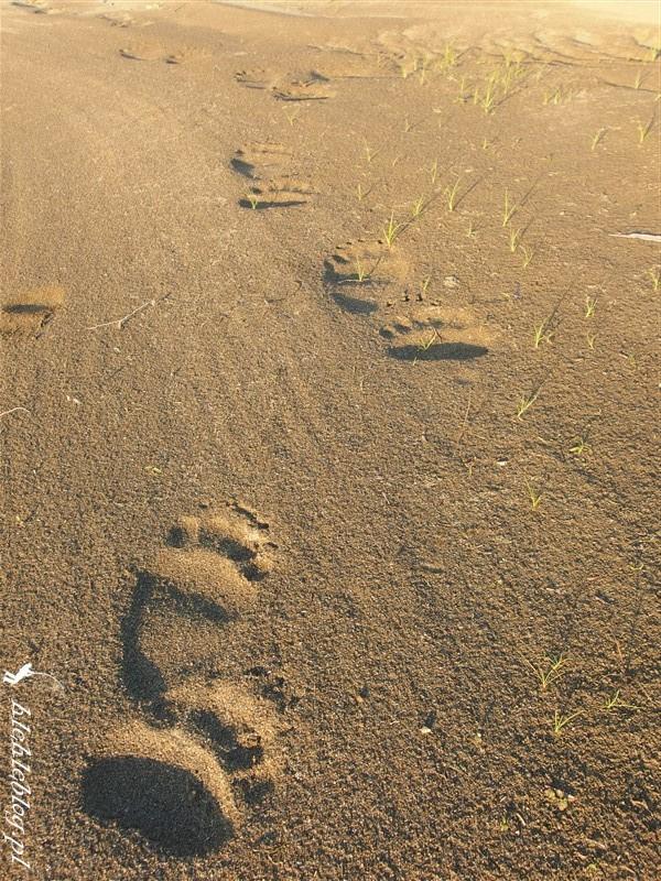 Syberia Niedzwiedzie Tygrysy_1